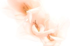 Flowers background highkey. Flowers background shot highkey, isolated on white. low-contrast peach colored gladiola royalty free stock images