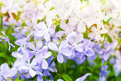 Flowers background photo. Phlox divaricata Stock Photography