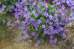 Flowers background with purple campanula Royalty Free Stock Photo