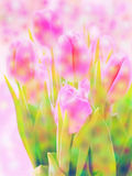 Flowers  background tulips. Beautiful pink flowers in garden Stock Image