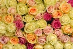 Rose flowers Royalty Free Stock Image