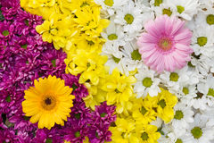 Yin yang flower background Royalty Free Stock Image