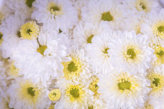 Flowers for backgrounds. Beautiful flowers for backgrounds or backdrop Royalty Free Stock Image
