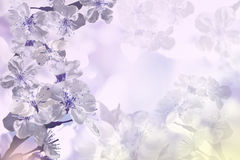 Flowers. Backgrounds from flowers violet cherry Royalty Free Stock Photos