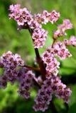 Flowers. Badan Stock Photography