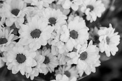 Flowers in balck and white as a background Royalty Free Stock Photos
