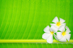Flowers on banana leaf. Colourful plumeria on banana leaf for background Royalty Free Stock Photography
