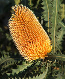 Flowers - Banksia stock image