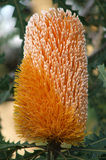 Flowers - Banksia royalty free stock image