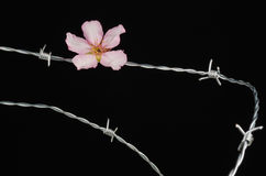 Flowers on barbed wire Royalty Free Stock Images