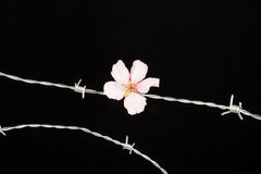 Flowers on barbed wire Stock Photos