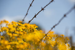 Flowers and barbed wire Royalty Free Stock Photo