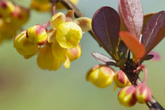 Flowers of barberry Stock Photo