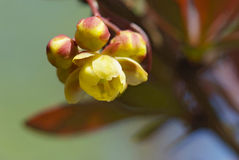 Flowers of barberry Royalty Free Stock Photos