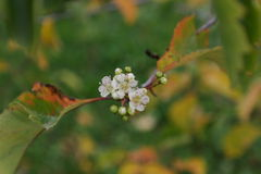 The flowers of the barberry. Royalty Free Stock Photo