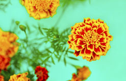 Flowers Barkchatsi Tagetes. Flowers Barkchatsi Tagetes bloom in the summer on a turquoise background royalty free stock image