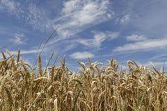 Flowers in barley field Stock Image
