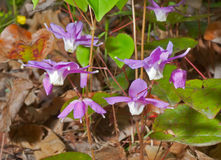 Flowers of barrebwort 12 Stock Images