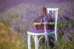 Flowers basket on the lavender field. Summer,lilac blooming field of lavender,white chair with backrest stands among the flowers on the chair is brown wicker stock image