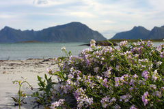 Flowers on a beach. And mountains with sea in the background Royalty Free Stock Image