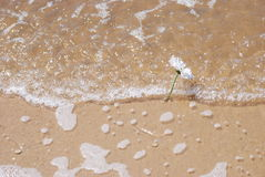 Flowers on beach. A daisy in the sand while the tide comes in Stock Image