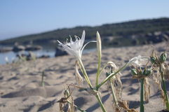 Flowers Beach. Lily Beach native to the coasts of the Mediterranean Stock Photography