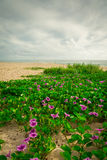 Flowers at Beach at Sebastian Inlet Royalty Free Stock Images