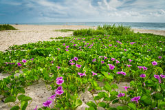 Flowers at Beach at Sebastian Inlet Royalty Free Stock Photo