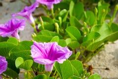 Flowers at Beach at Sebastian Inlet Royalty Free Stock Image