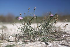 Flowers on the beach. Some pink flowers in front of a sandy beach Royalty Free Stock Photo
