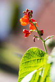 Flowers on a bean plant against a defocused background. Flowers on a plant as a prelude to the arrival of 'Runner Beans' or Phaseolus coccineus, a type of legume Stock Images