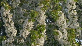 Flowers, beautiful blossoming sweet cherry fruit  tree stock video footage