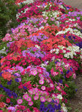 Flowers. Beautiful colorful flowers in spring season royalty free stock photo
