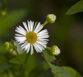 Roman chamomile flower. Royalty Free Stock Photos