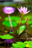Flowers of a beautiful lilac lily close-up. In a pond stock photo