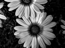 Flowers. Beautiful monochrome flowers Stock Image