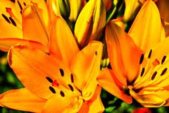 Flowers. Beautiful orange flowers lilies. garden flower royalty free stock photos
