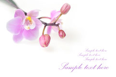 Flowers of  beautiful orchid Stock Photo
