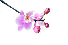 Flowers of  beautiful orchid  isolated Stock Photo