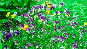 Flowers beautiful pansies general plan stock photography
