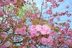 Flowers beautiful pink cherry blossoms in the light of the blue sky. Flowers beautiful pink cherry blossoms growing in the spring under the blue sky outside on a Stock Images
