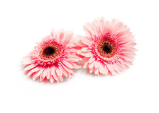 Flowers beautiful pink gerbera Royalty Free Stock Image