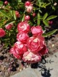 Pink rose? royalty free stock photo