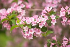 Flowers of beautiful pink weigela Royalty Free Stock Photography