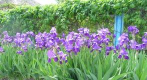 Flowers. Beautiful purple flowers blooming in full force Royalty Free Stock Image