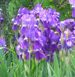 Flowers. Beautiful purple flowers blooming in full force Stock Photography