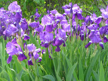 Flowers. Beautiful purple flowers blooming in full force Stock Image