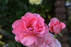 Beautiful roses in the garden stock image
