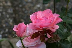 Beautiful roses in the garden royalty free stock photo