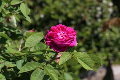 Beautiful roses in the garden stock images
